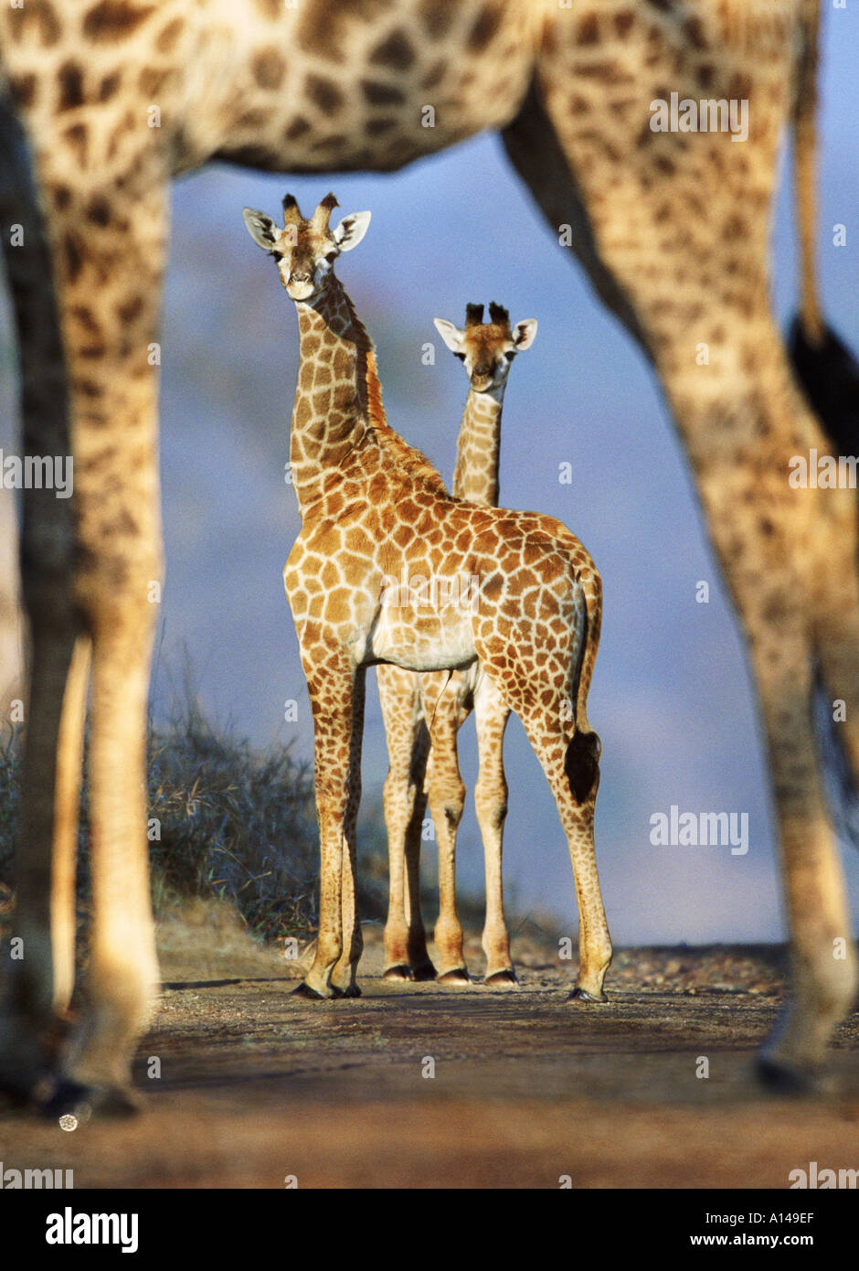 Giraffen, umrahmt von den Beinen der anderen Giraffe Südafrika Stockbild
