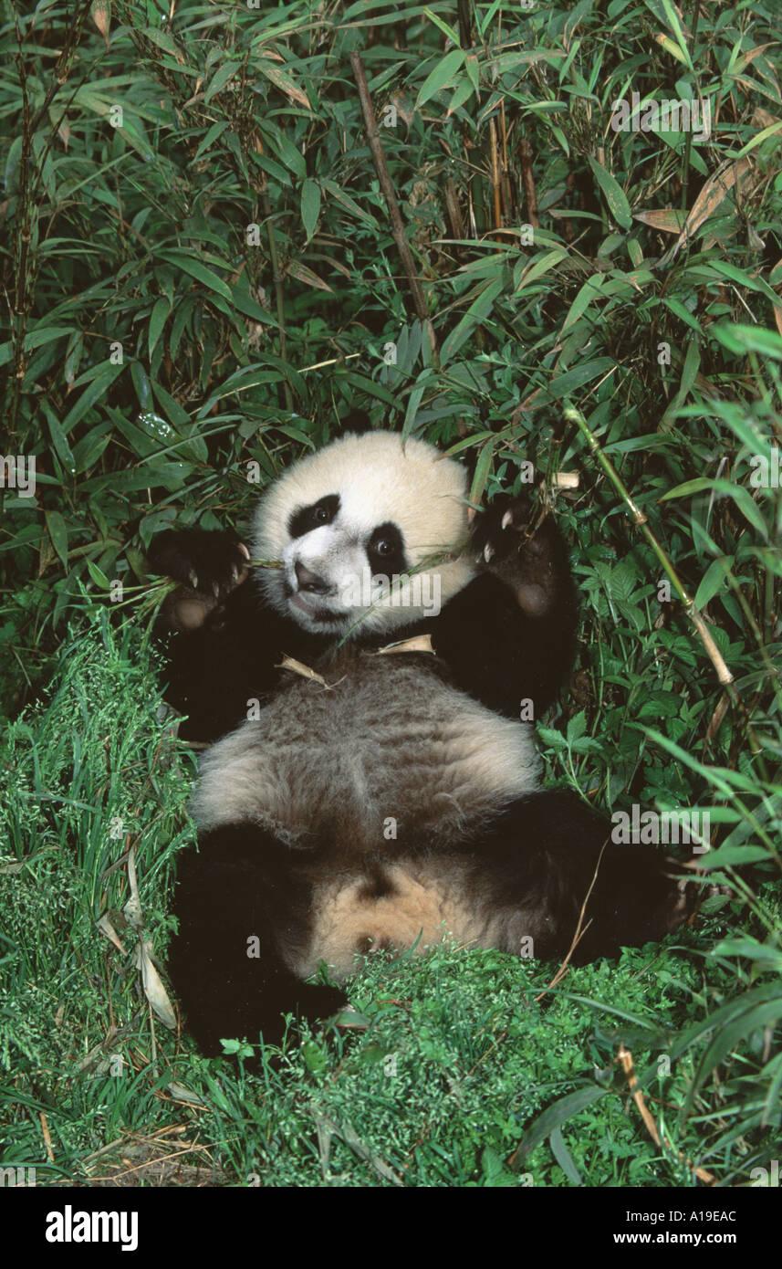 Giant Panda Cub Essen Bambus Im Busch Wolong Nature Reserve Provinz