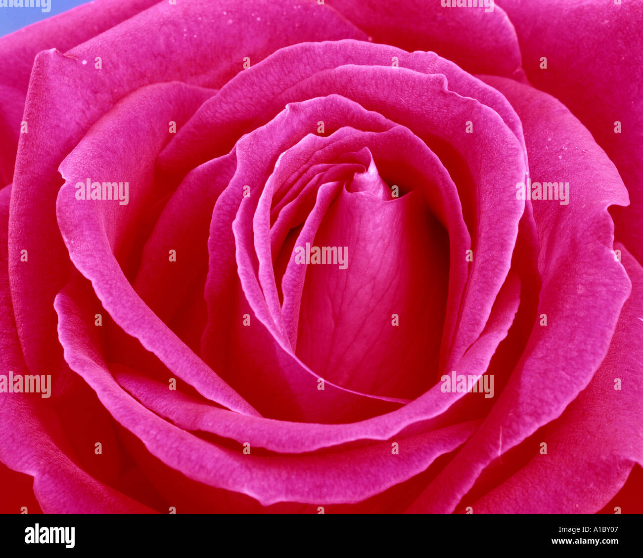FLORA: Englisch Red Rose (lat.: rosa Händel) Stockfoto