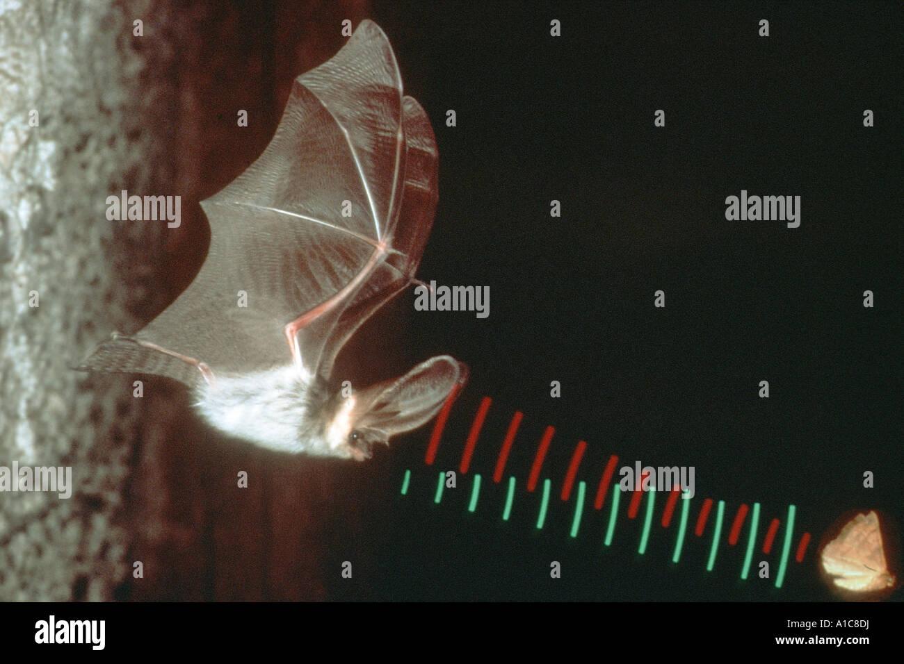 Fledermäuse Ultraschall