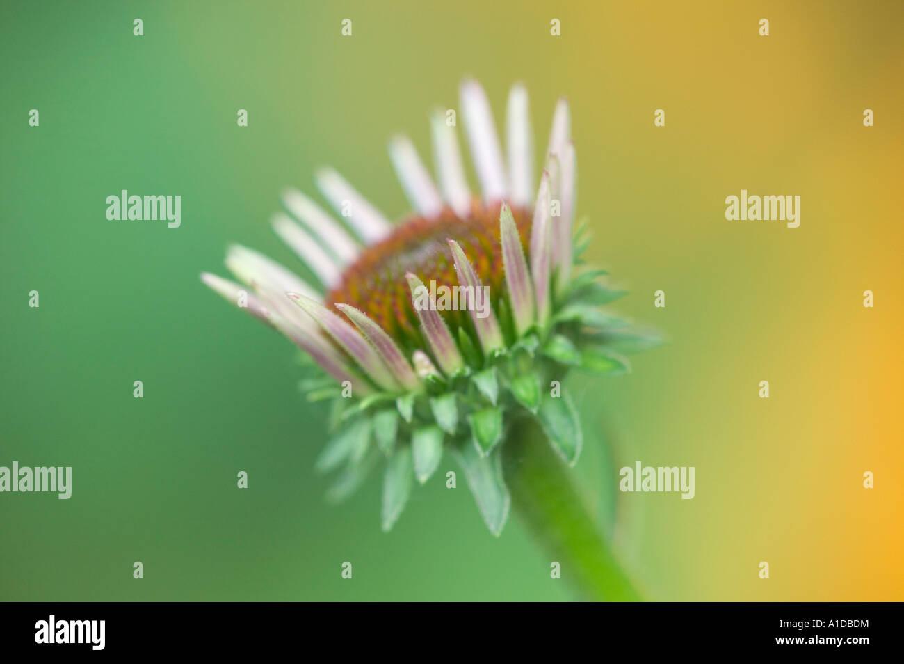 Ein Sonnenhut oder Purple Cone Flower beginnen zu blühen. Stockbild