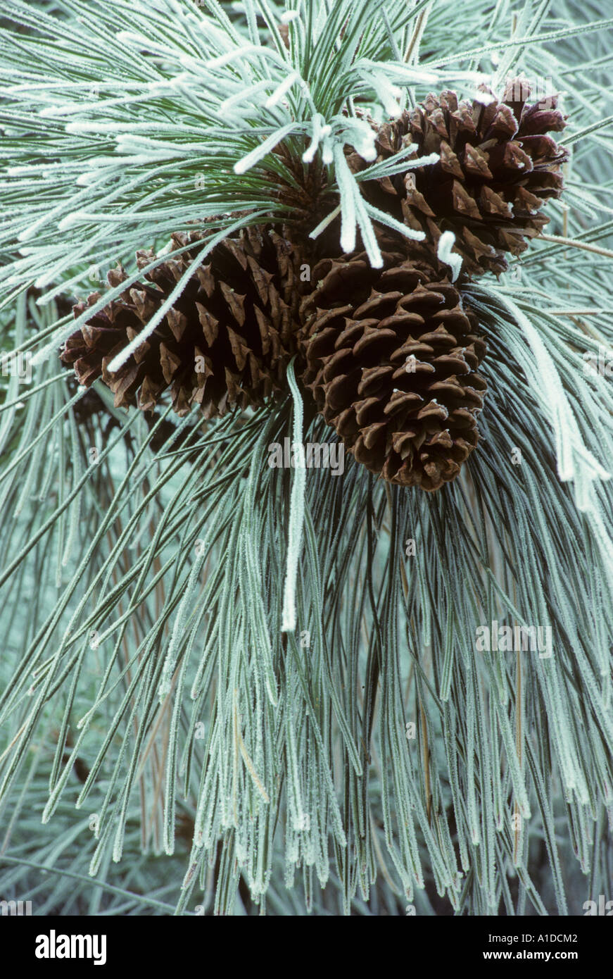 Bereift, Kiefernnadel und Kegel Gelb-Kiefer, Pinus ponderosa Stockbild