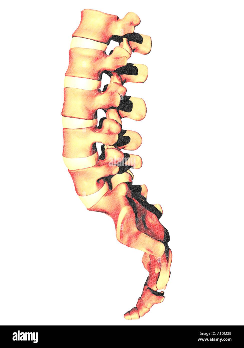 Lendenwirbel-Kreuzbein-Steißbein Stockfoto, Bild: 3338282 - Alamy
