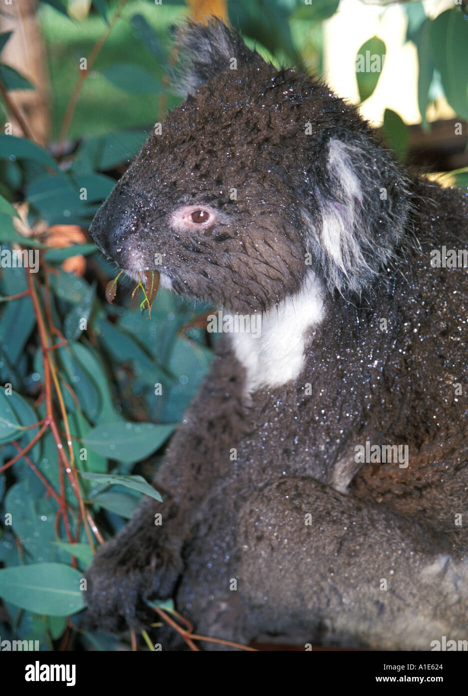 Nasse Koalas