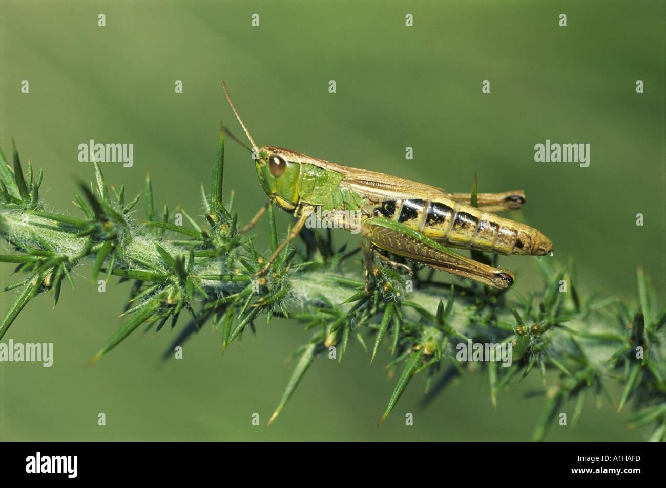 Eine gemeinsame Green Grasshopper Omocestus Viridulus ruht auf einem Ginster Zweig auf Iping gemeinsame Midhurst Stockbild