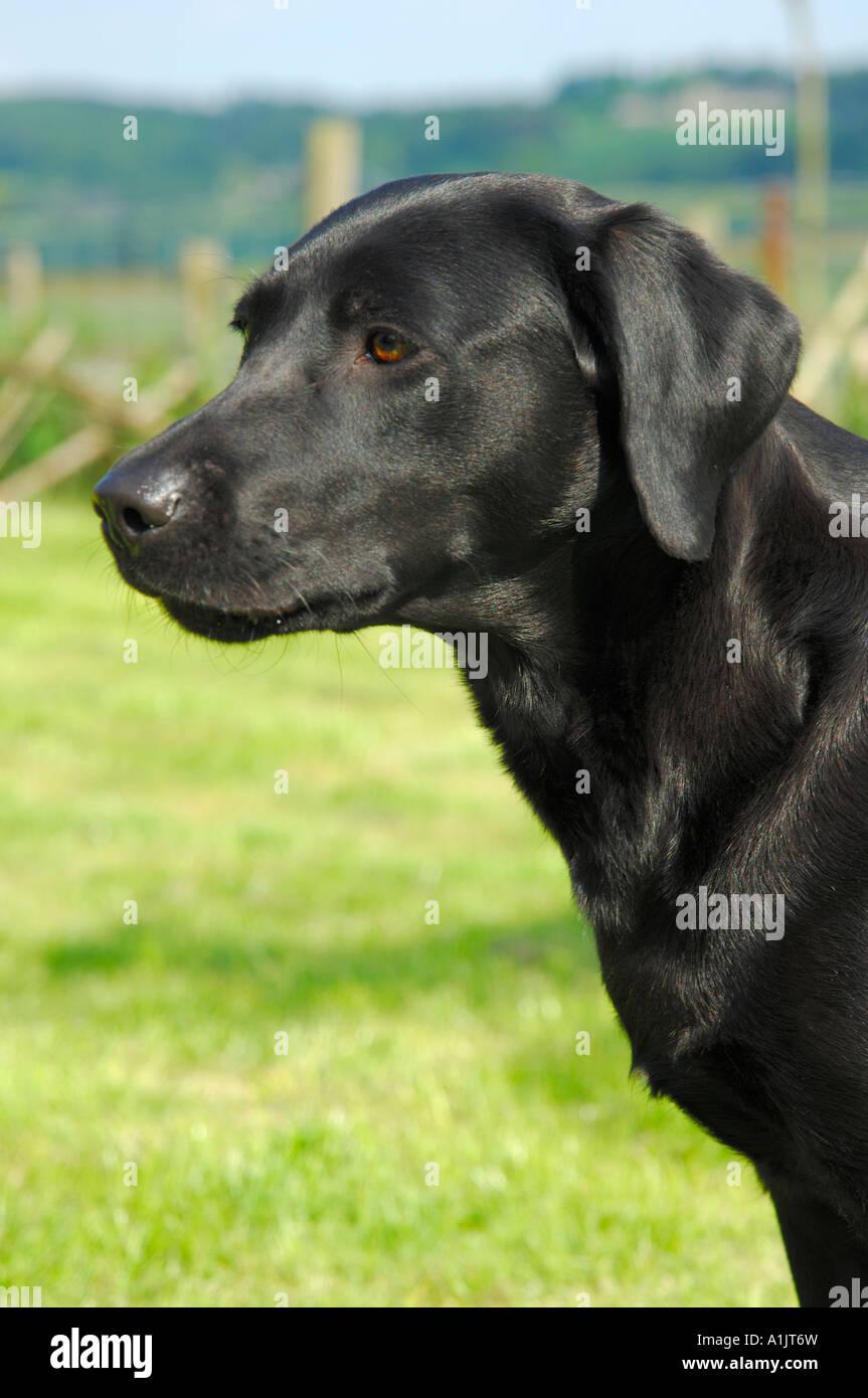 Schwarze Labrador Hundin Kopf Und Schultern Links Ansicht Grun