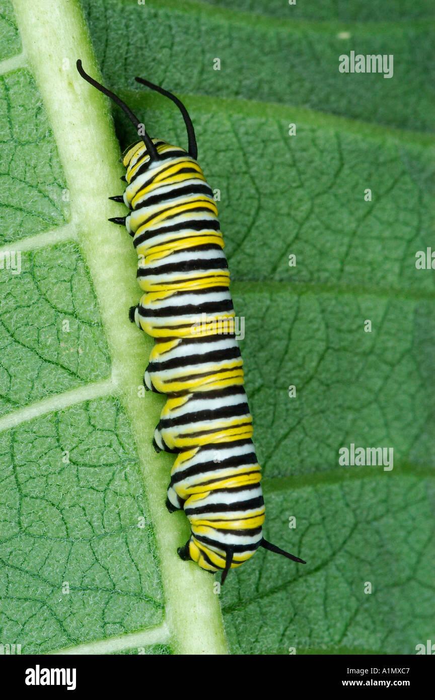 Aposematism Caterpillar Stockfotos & Aposematism Caterpillar Bilder ...