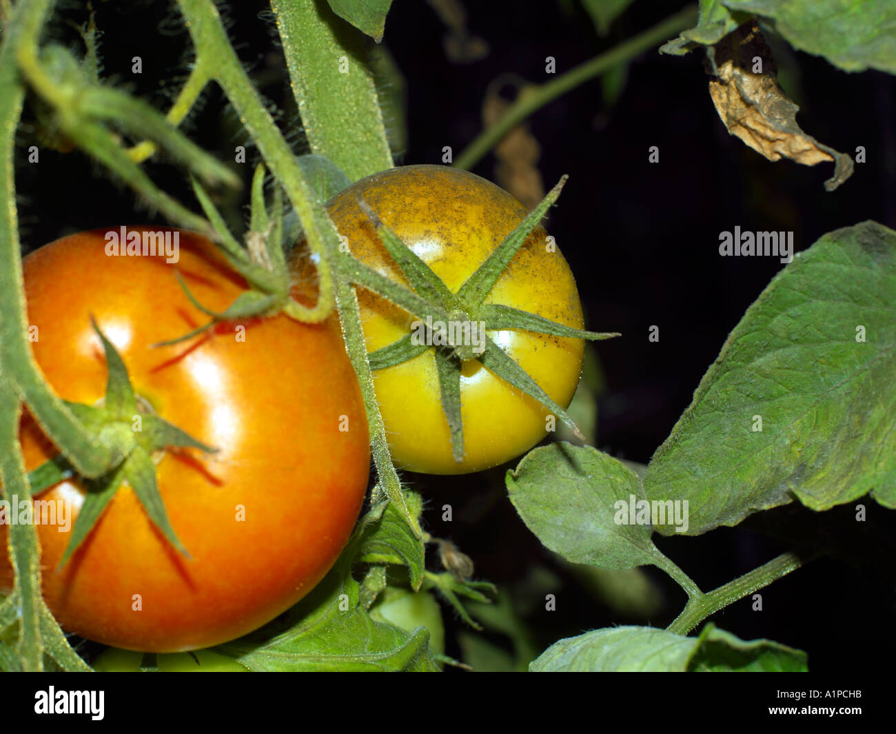 Tomate Mit Schimmel Wachst Im Gewachshaus Stockfoto Bild 5890842