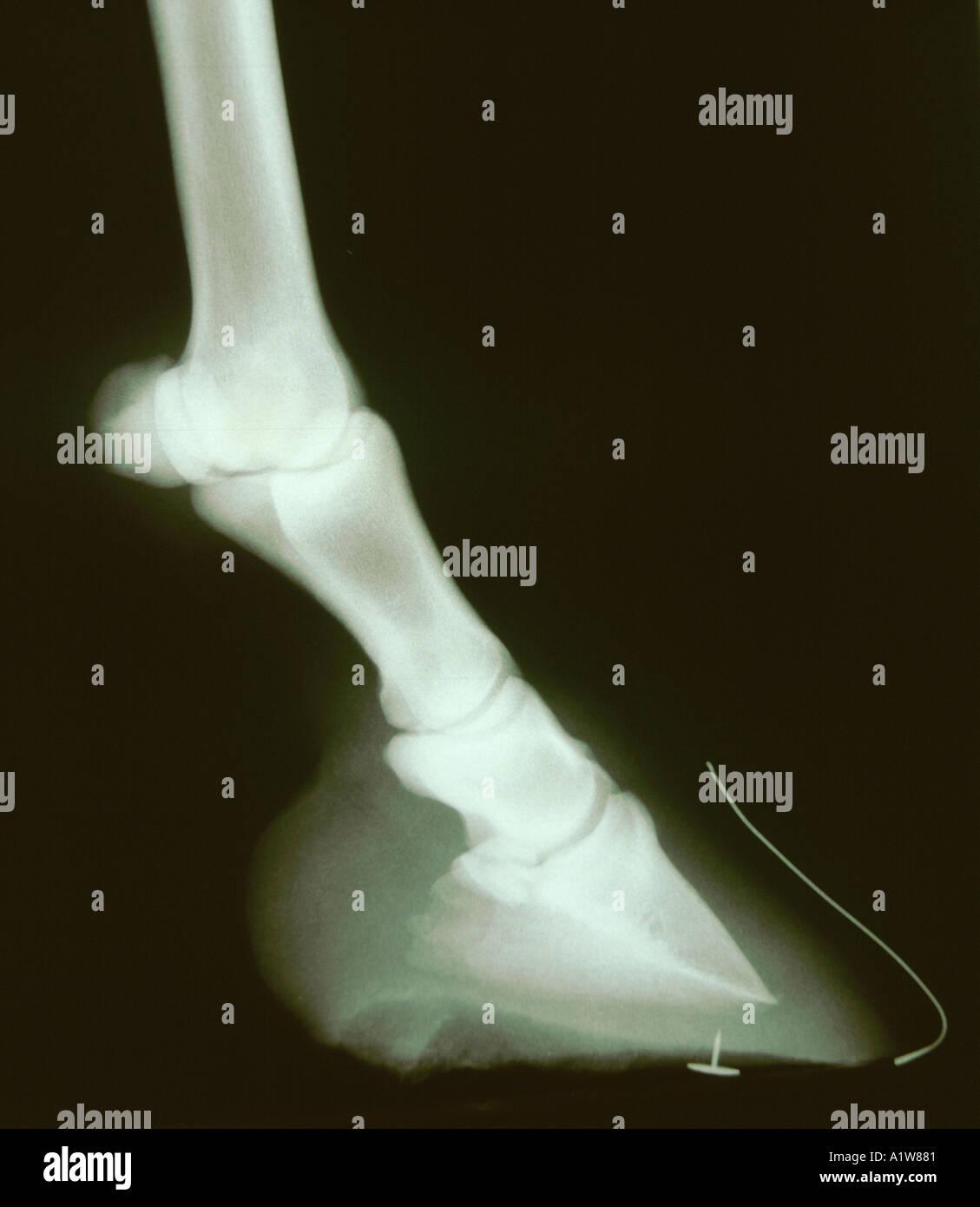 X-Ray Pferde HUF zeigt Draht Marker zur Drehung des Pedal Knochen beurteilen Stockbild