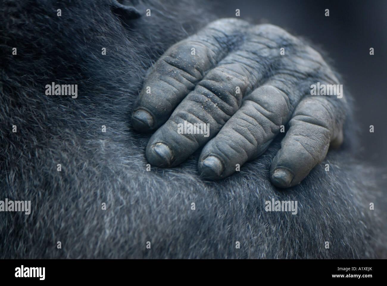 Gorilla-hand Stockbild