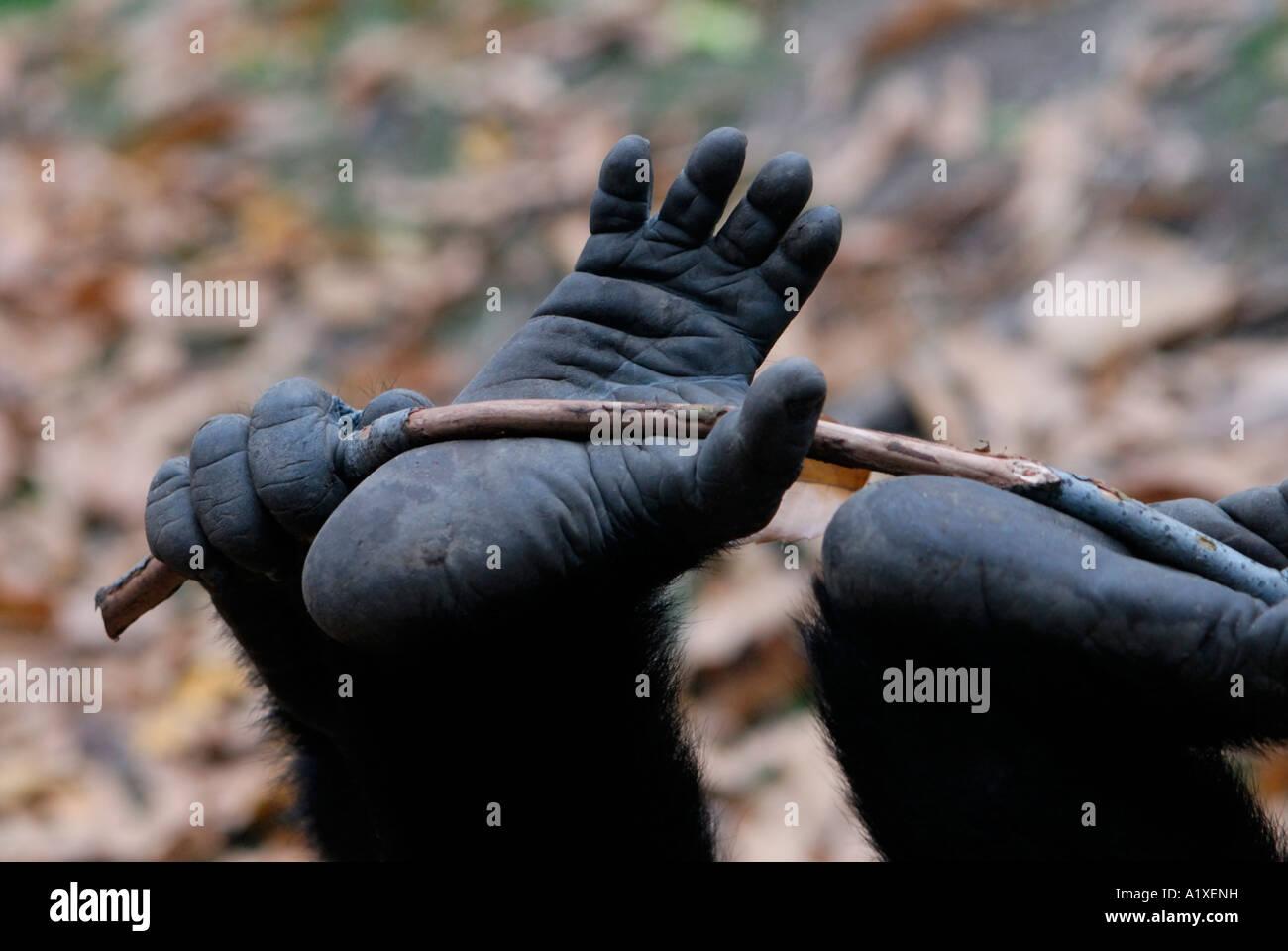 Junge Gorilla Fuß spielen mit stick Stockfoto