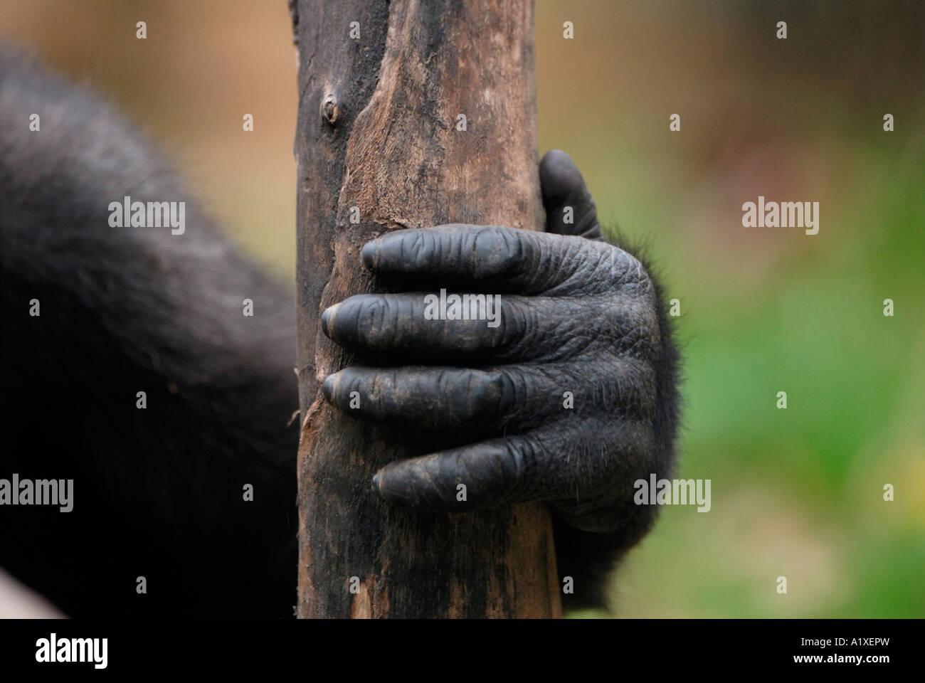 Gorilla-hand Stockfoto