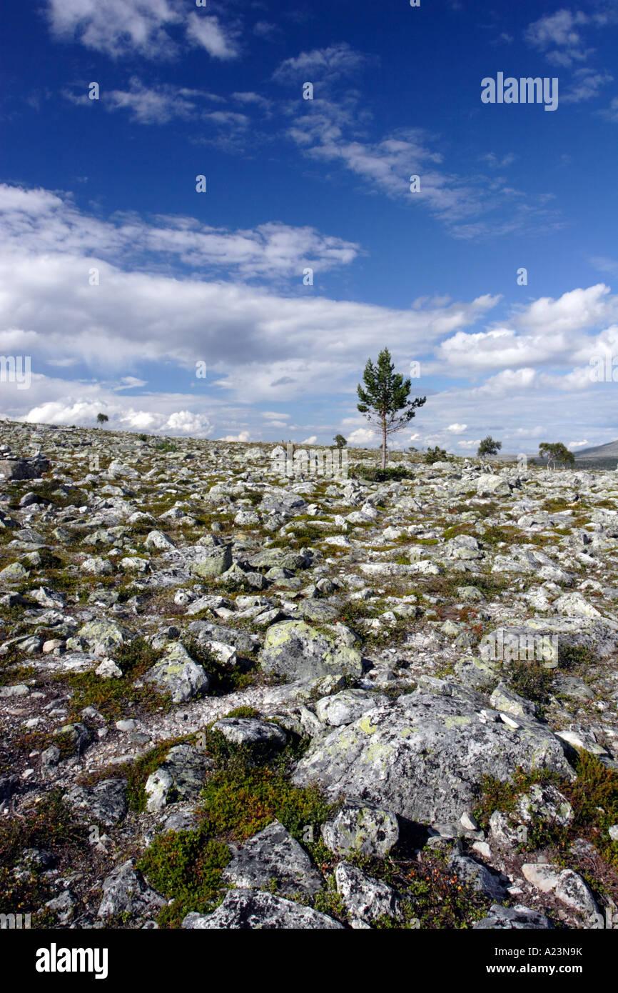 Baum auf Fjäll, Norwegen Stockbild