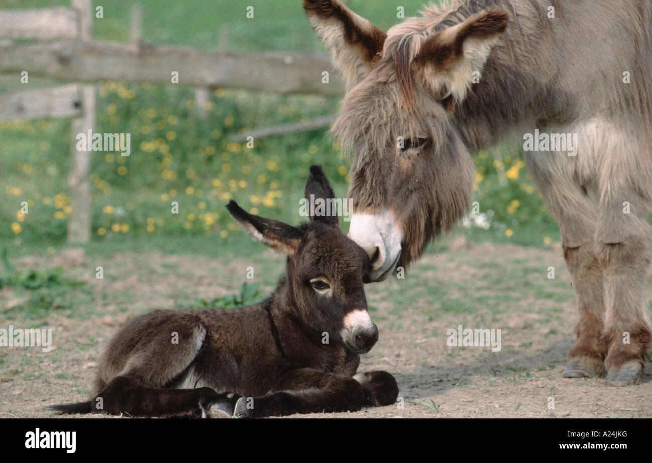 Atemberaubend Esel Stute Hausesel Mutter Mit 3 Tage Altem Baby Jungtier Esel @IB_56