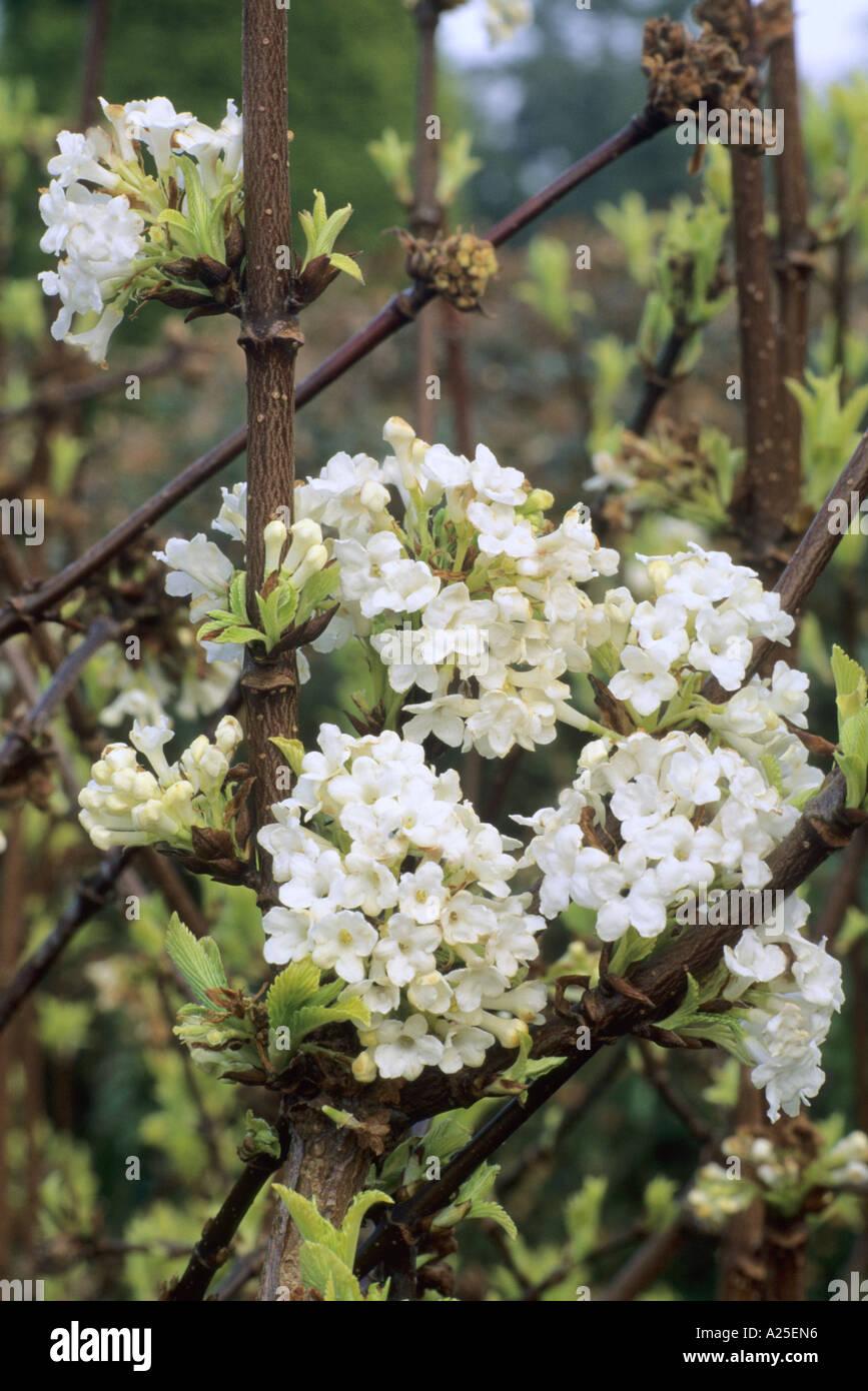 Fragrant viburnum viburnum farreri stockfotos fragrant - Duftende gartenpflanze ...