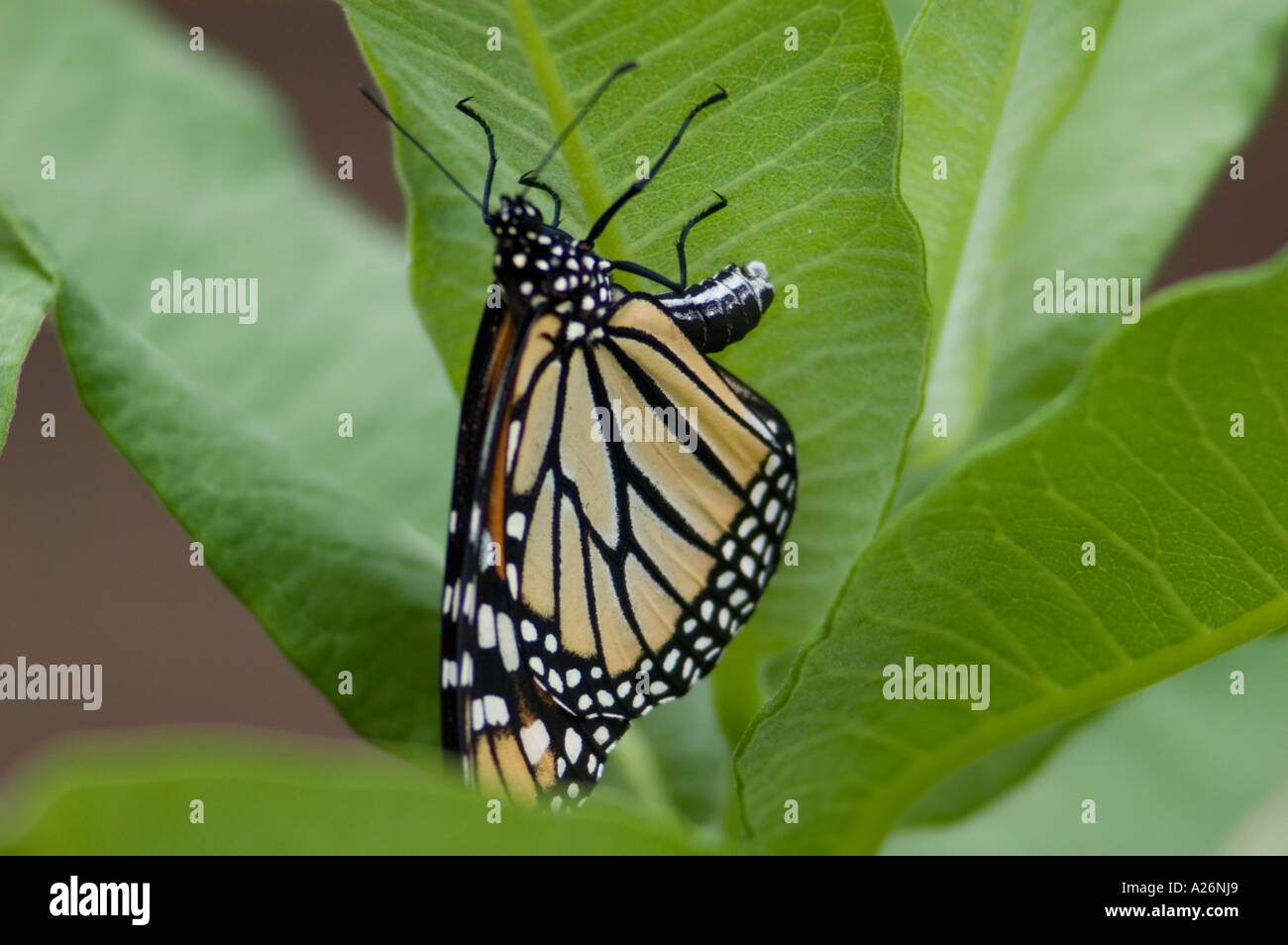 Monarch Butterfly Egg Stockfotos & Monarch Butterfly Egg Bilder - Alamy