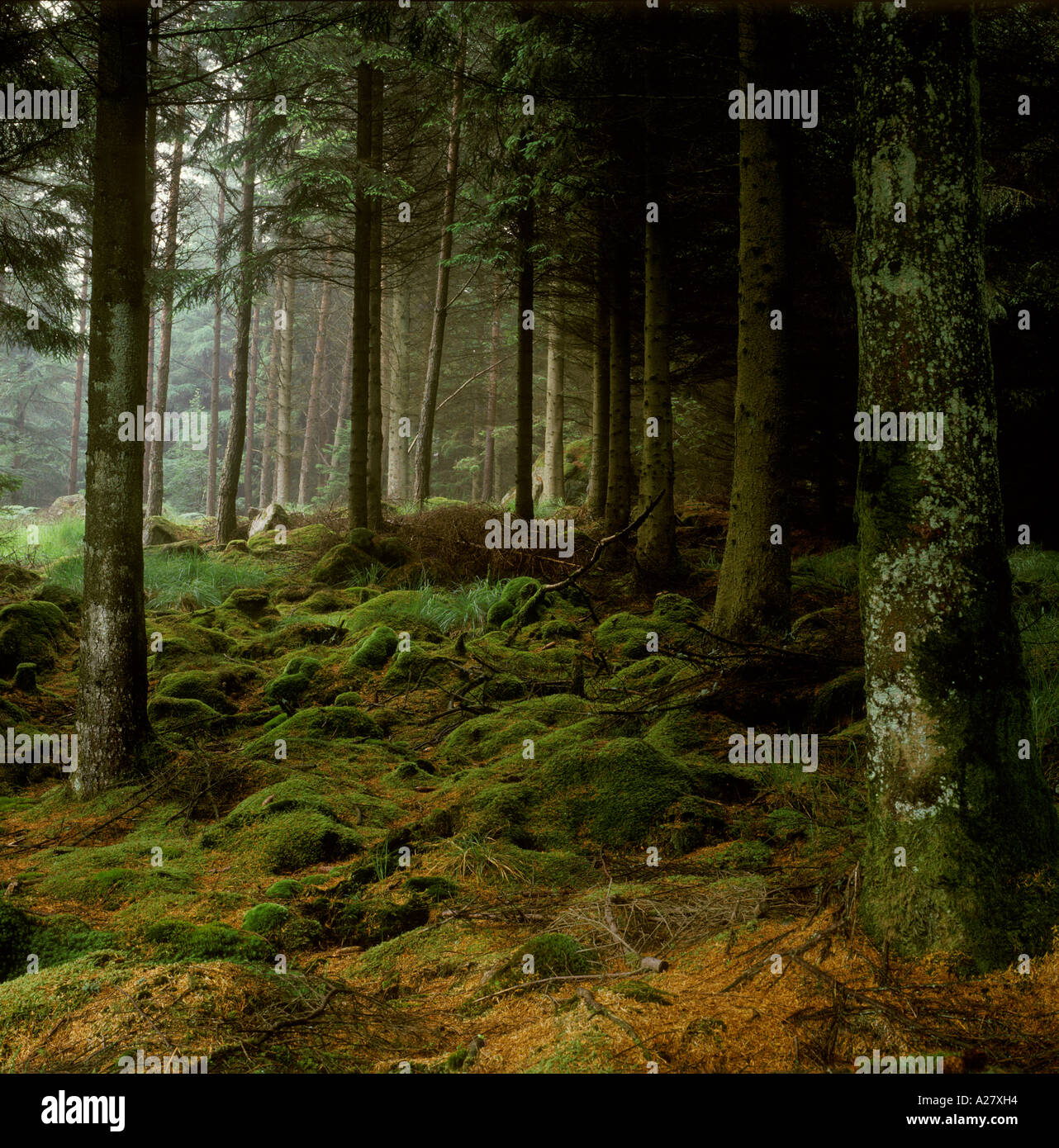 Moos bedeckte Felsen im schottischen Wald Stockbild