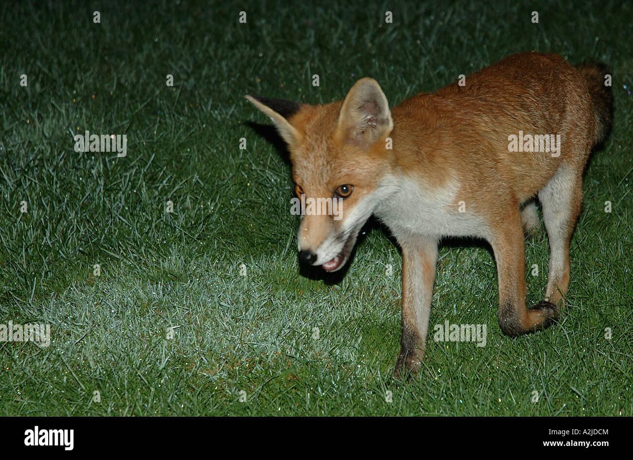 Fuchs Im Garten Stockfoto Bild 10535203 Alamy