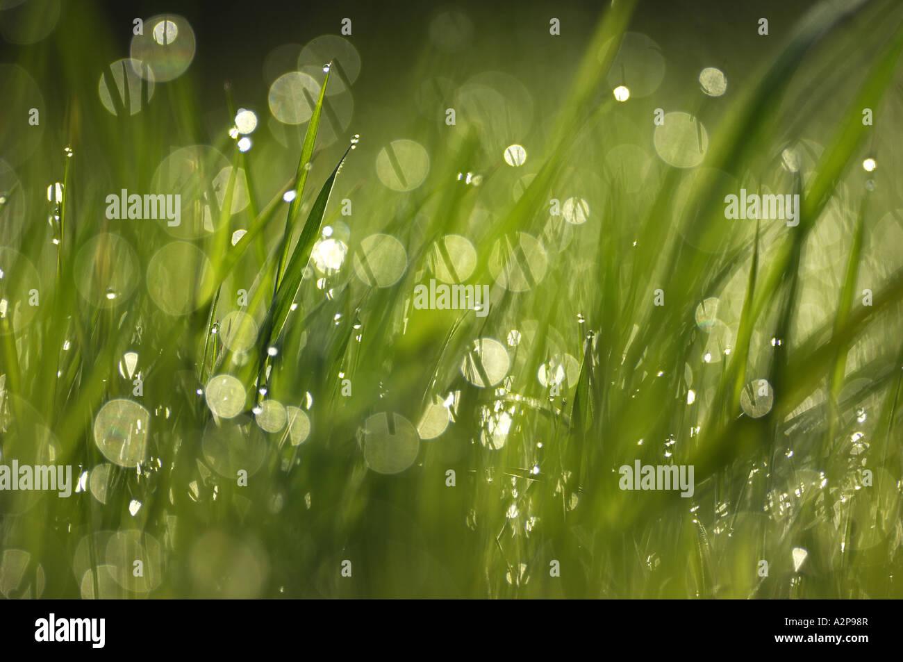 Tautropfen auf Rasen Stockbild