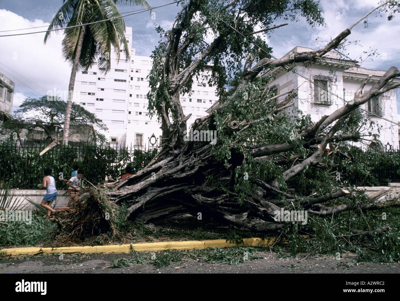 Baum entwurzelt, liegend auf dem Bürgersteig nach einem Hurrikan in Havanna Kuba Stockbild