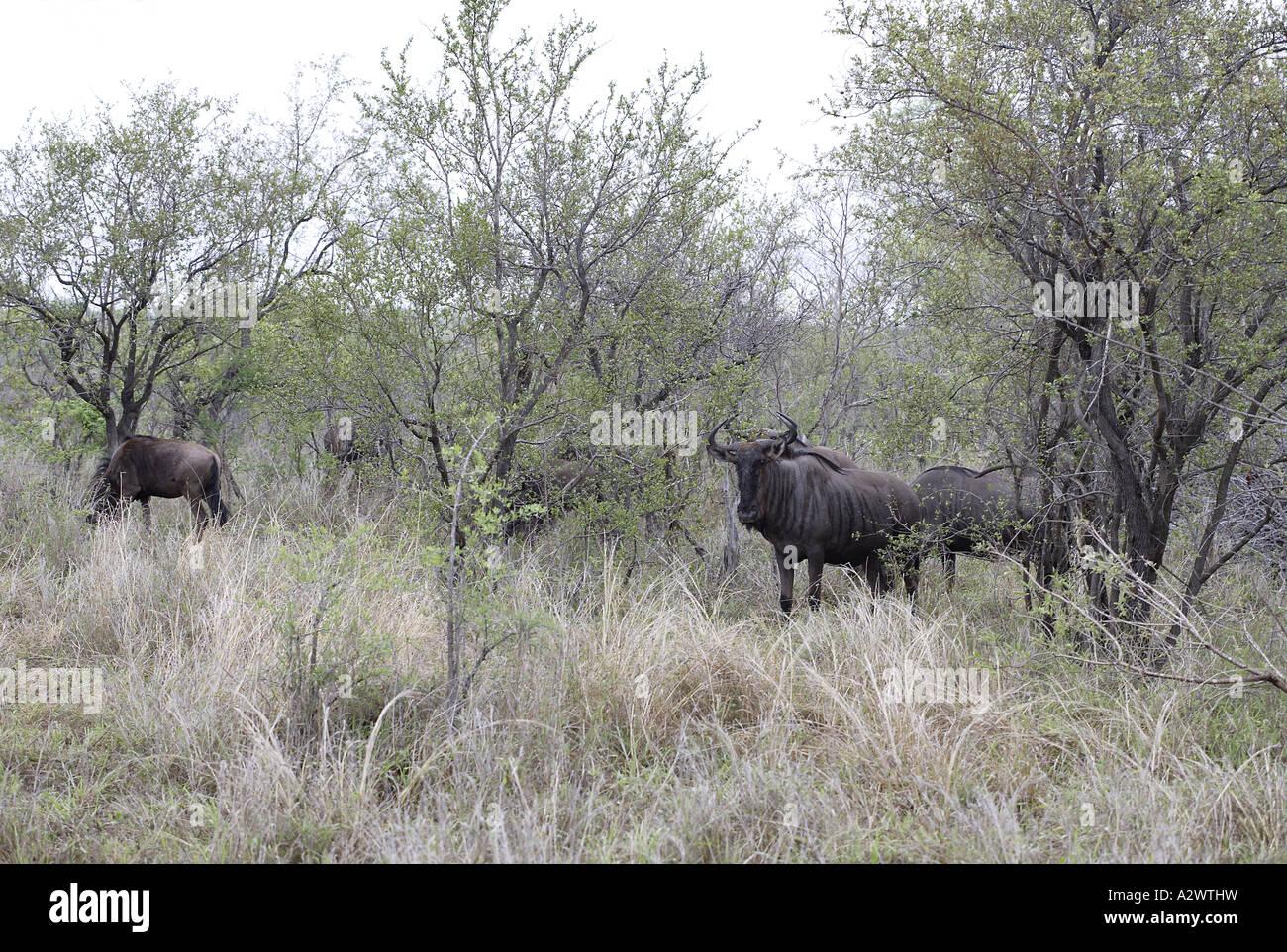 Gnus im Morgengrauen [3], Krüger-Nationalpark (Manyeleti Game Reserve), Südafrika Stockfoto