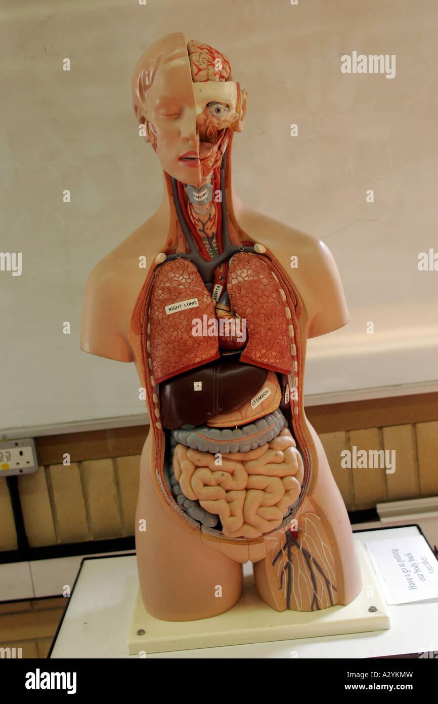 Modell des menschlichen Körpers zeigen, Organe, Sixth Form College ...