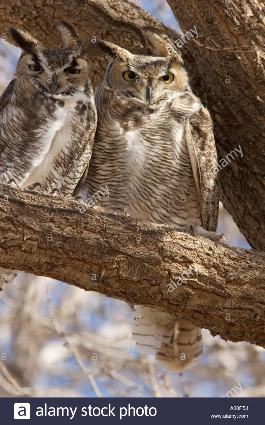 Großen Uhus Bubo Virginianus paar weibliche links männlich-rechts Stockbild