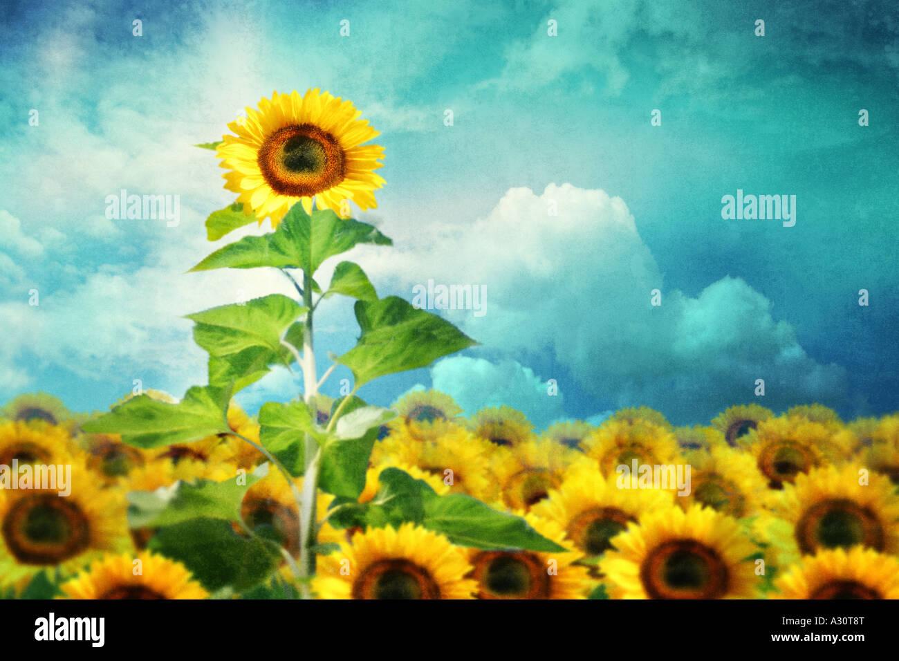 Konzept-Bild eines hohen Sonnenblumen stehenden heraus vom rest Stockbild