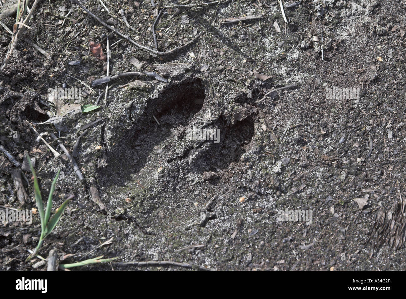 Rothirsch (Cervus Elaphus), Fussspuren Stockbild