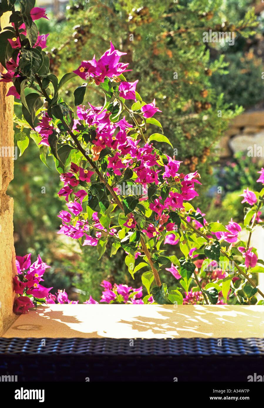 Bougainvillea sichtbar durch ein offenes Fenster, wachsen auf einer ...
