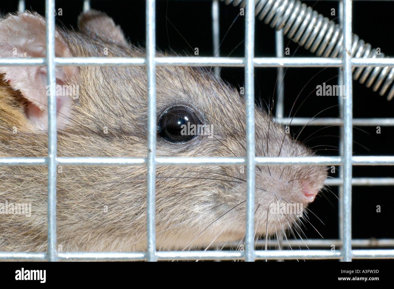 Braune Ratte gefangen in einem Draht Käfig Falle, starrt durch ...