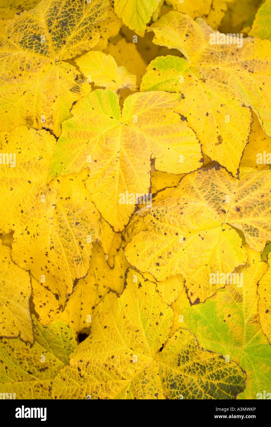 Gelbe Blätter in einem Busch Stockbild