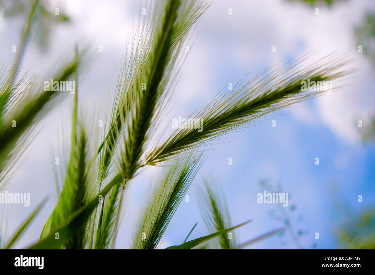 Weizen wächst in auffangene gegen blauen Himmel, Unterseite Ansicht, Nahaufnahme Stockbild