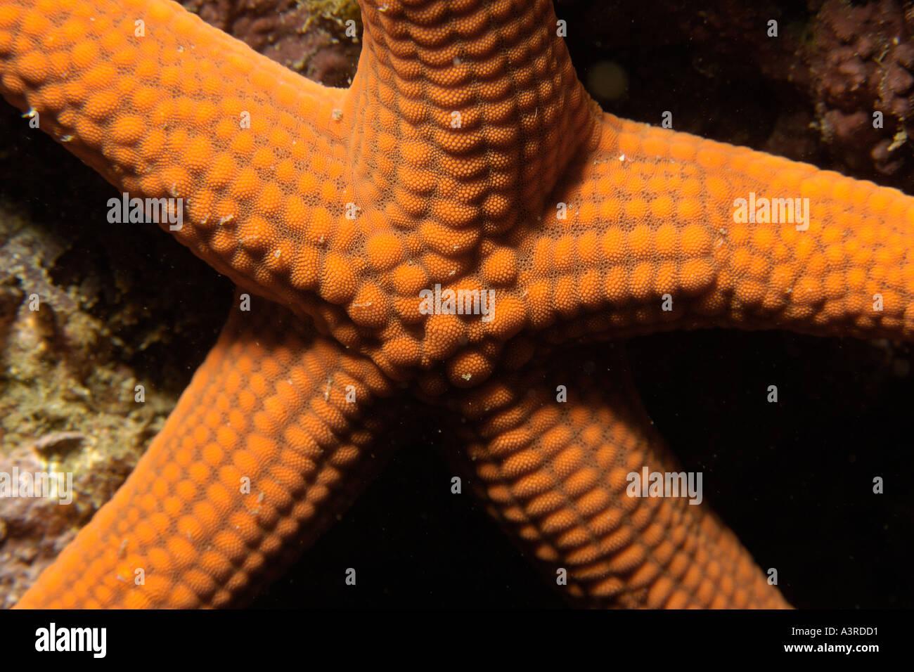 SeaStar Certonardoa Semiregularis Seopsom Insel Jeju-Do Südkorea East Sea Stockbild