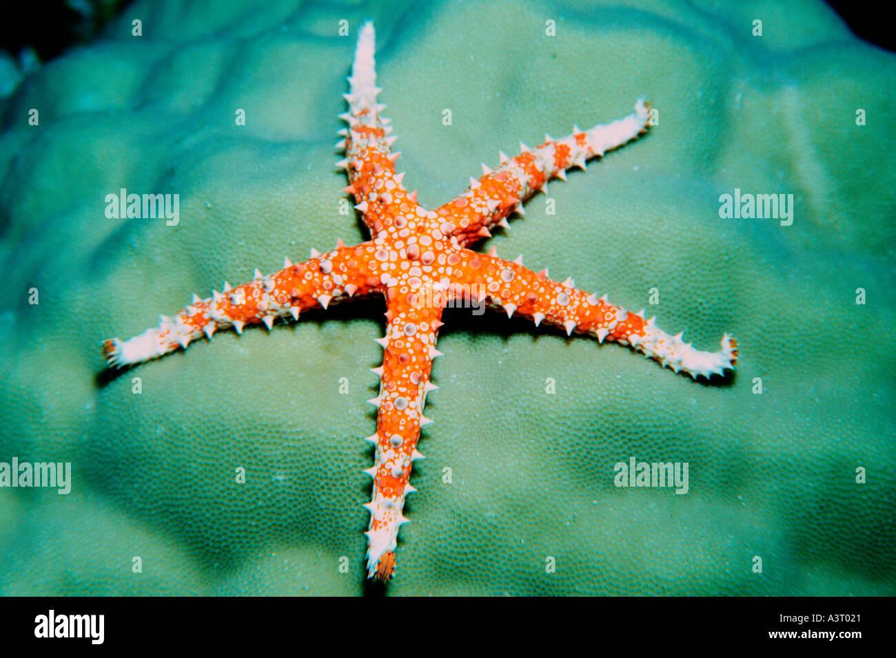 Sea Star Gomphia sp Rongelap Marshall-Inseln Nord-Pazifik Stockbild