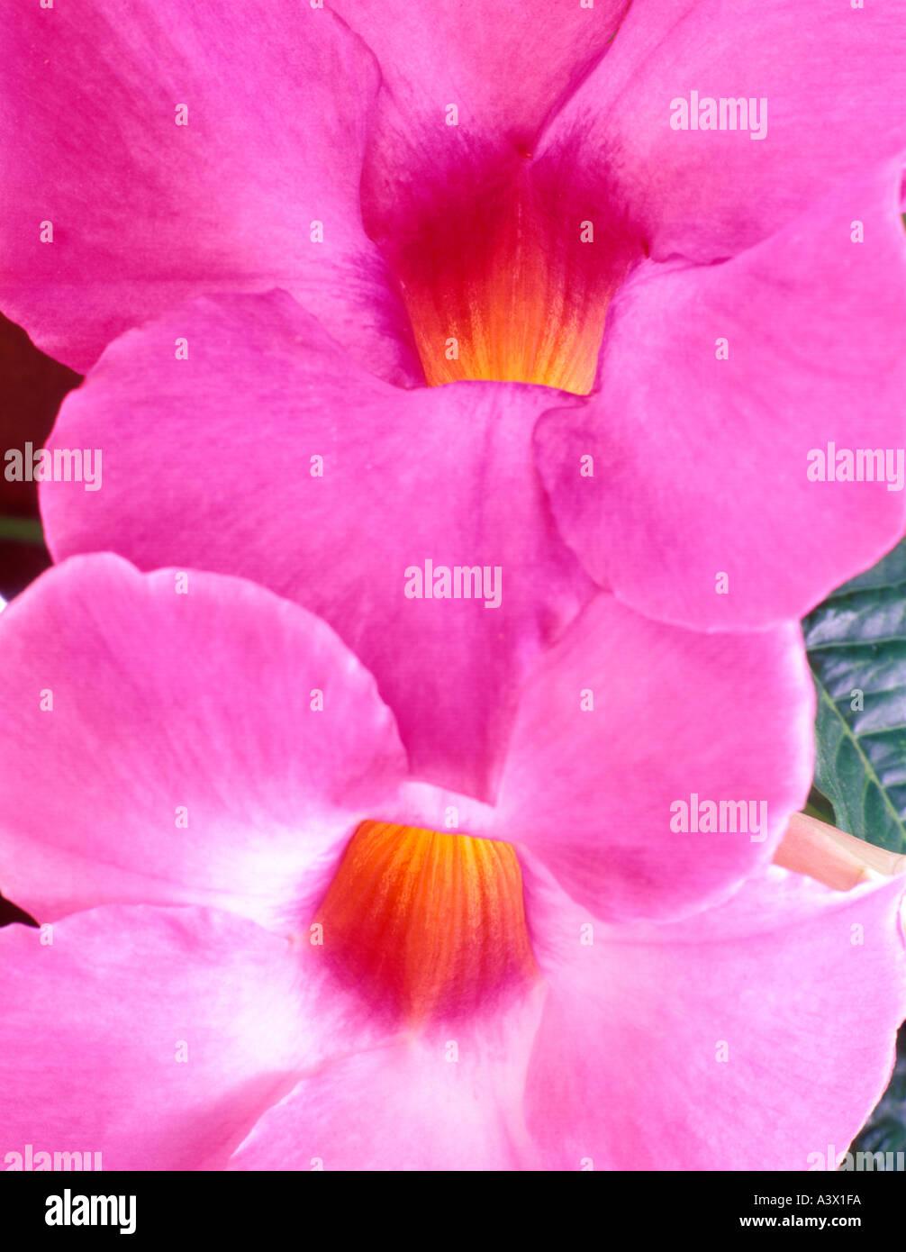 V00161M Tiff Mandevilla Alice Dupont Blumen Kristall Gärten Victoria British Columbia Kanada Stockbild