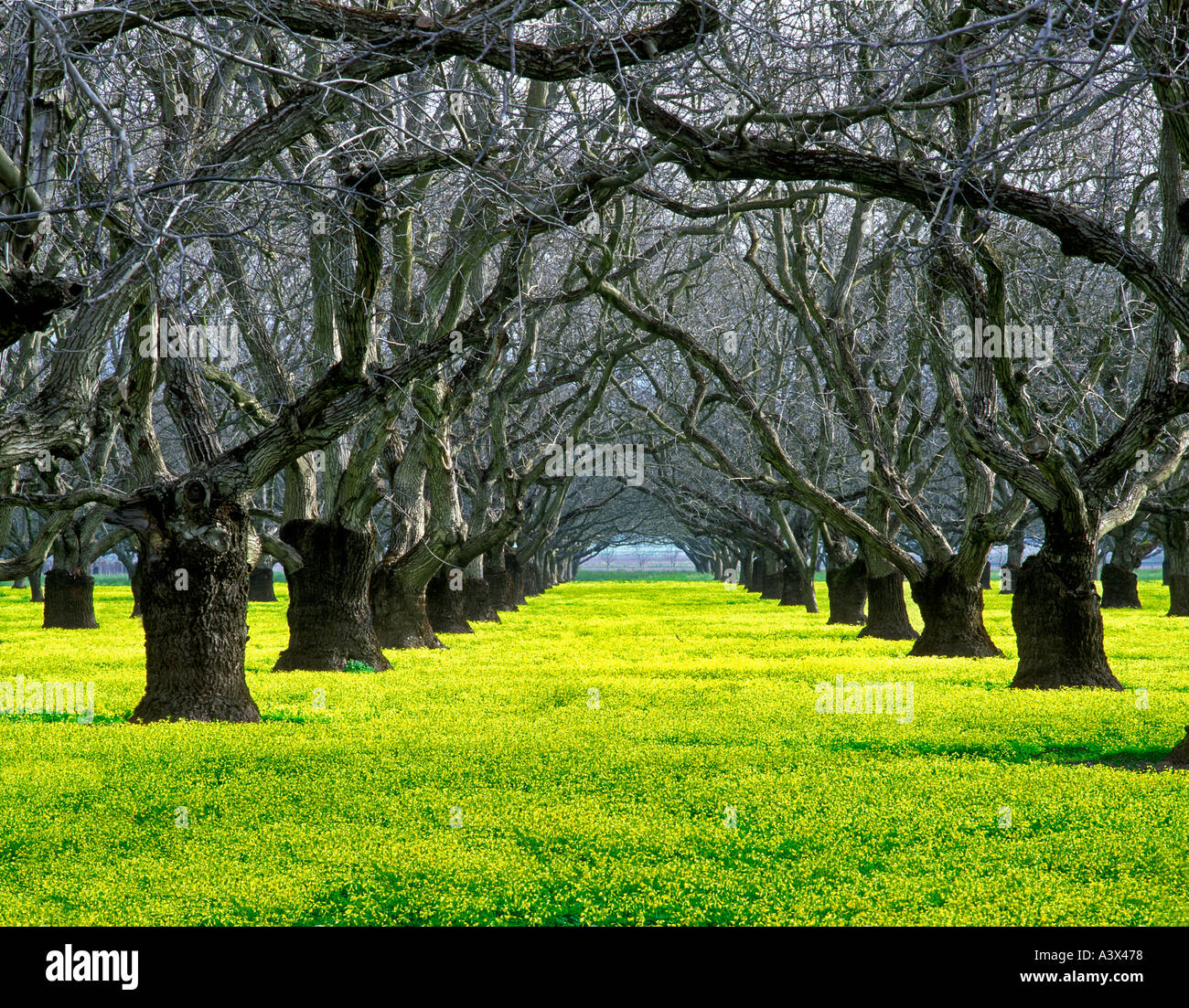 walnut tree branch stockfotos walnut tree branch bilder alamy. Black Bedroom Furniture Sets. Home Design Ideas