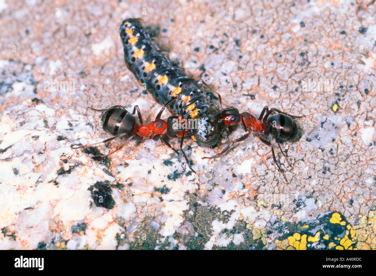 Ants Attacking Animal Stockfotos Ants Attacking Animal Bilder Alamy