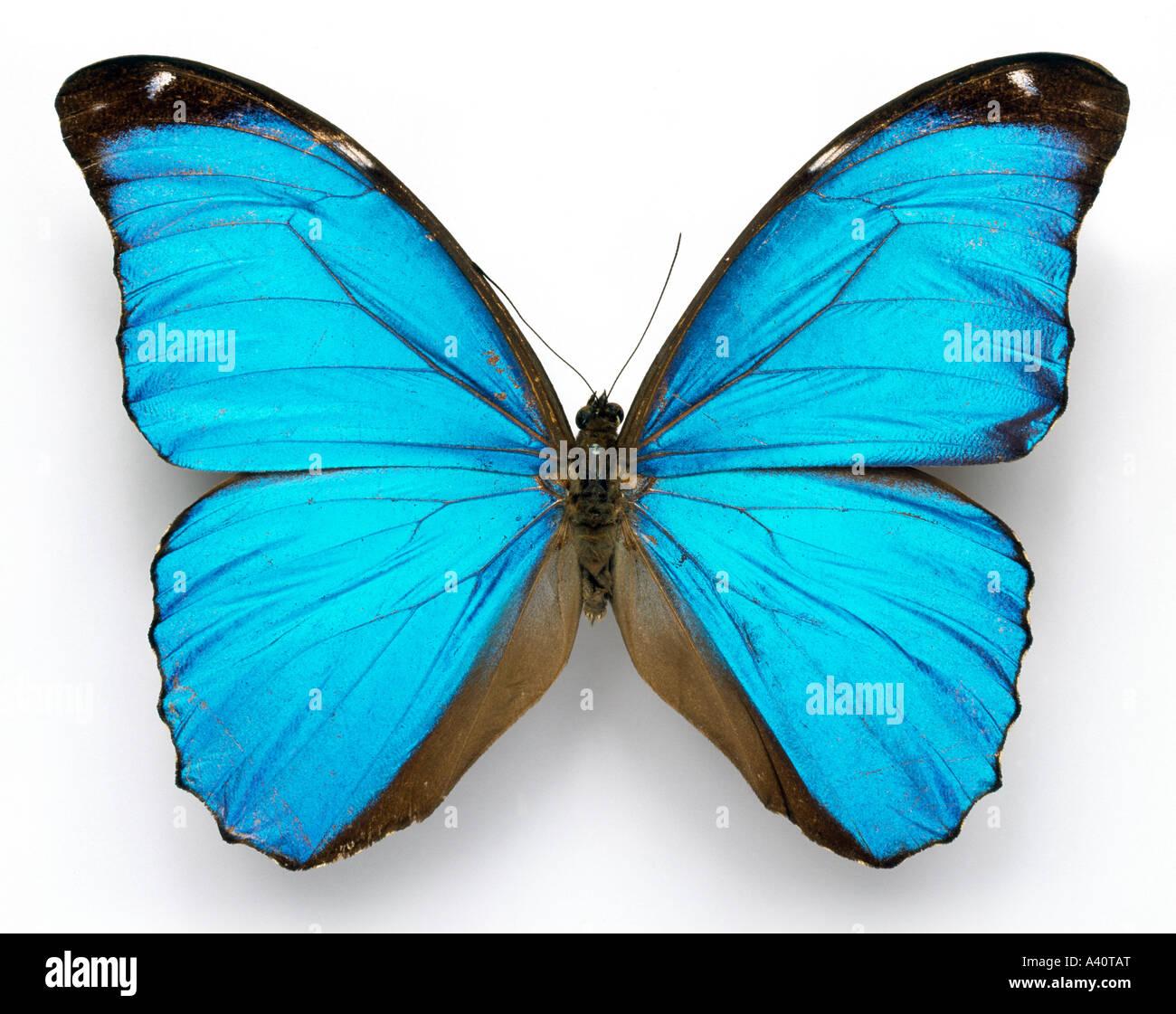 Morpho Menelaus Cramer blauer Schmetterling Stockbild
