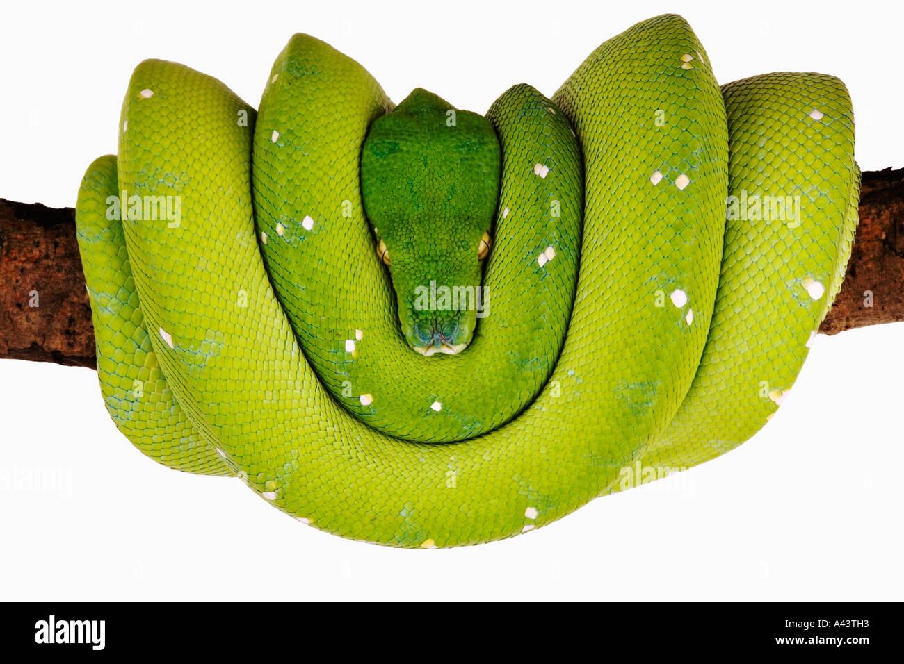 Green Tree Python Chondropython Viridis Distribution Regenwälder Neuguinea und angrenzenden Inseln Stockbild