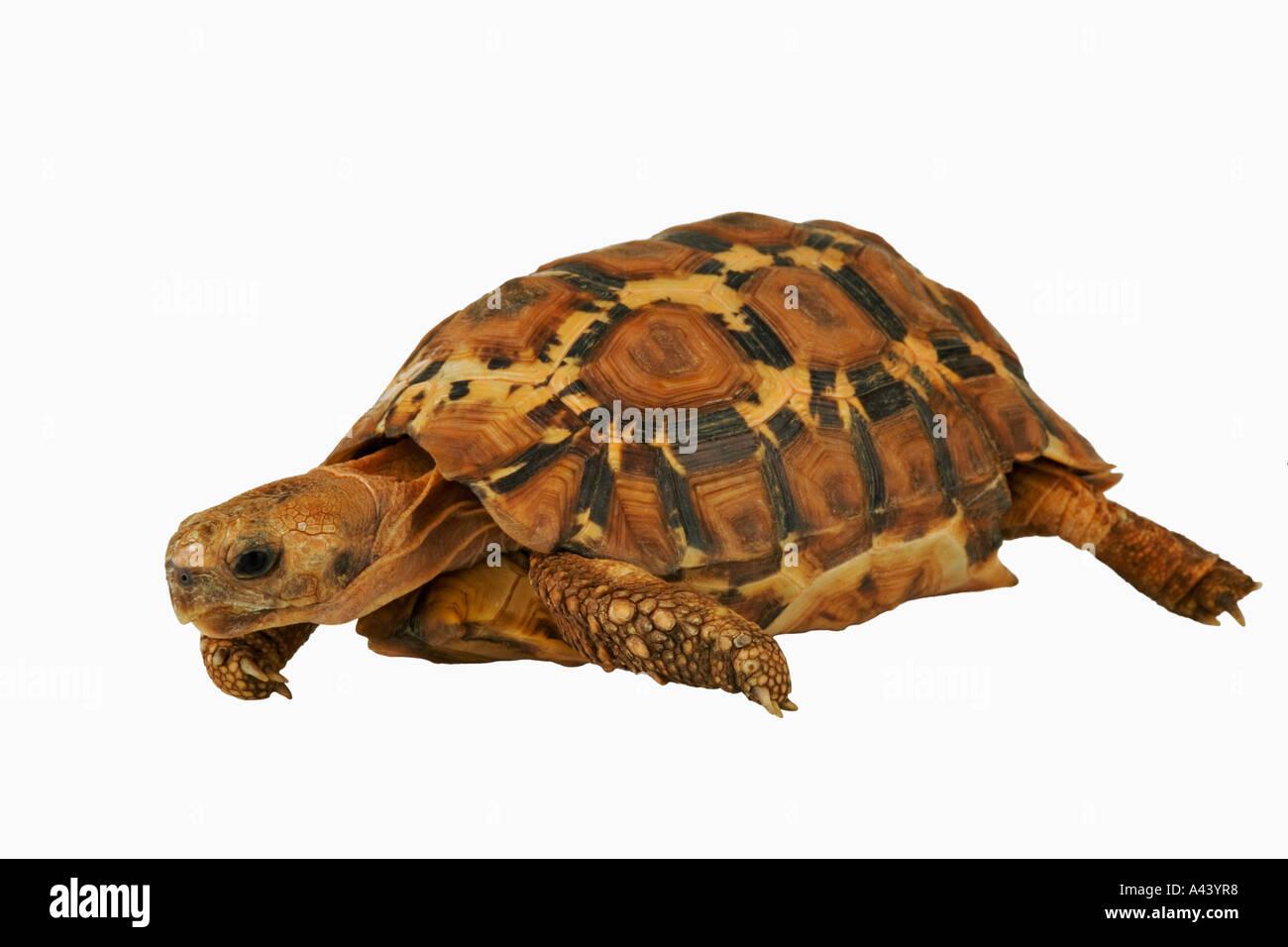 Lobatse Hingeback Schildkröte Kinixys Lobatsiana geschätzten in der ...