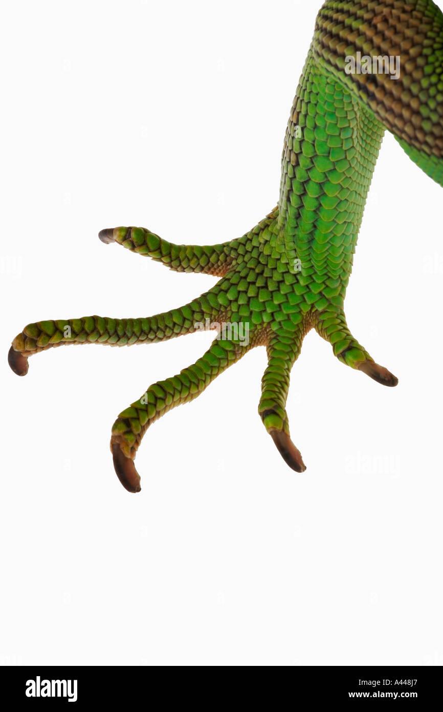 Gemeinsamen grünen Leguan Iguana Iguana Common in den Tierhandel Verteilung zentral und Südamerika Stockbild