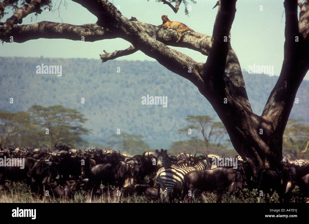 Gnus und gemeinsame Zebra unter Baum mit Leopard auf Ast über dem Serengeti-Nationalpark Tansania Stockbild
