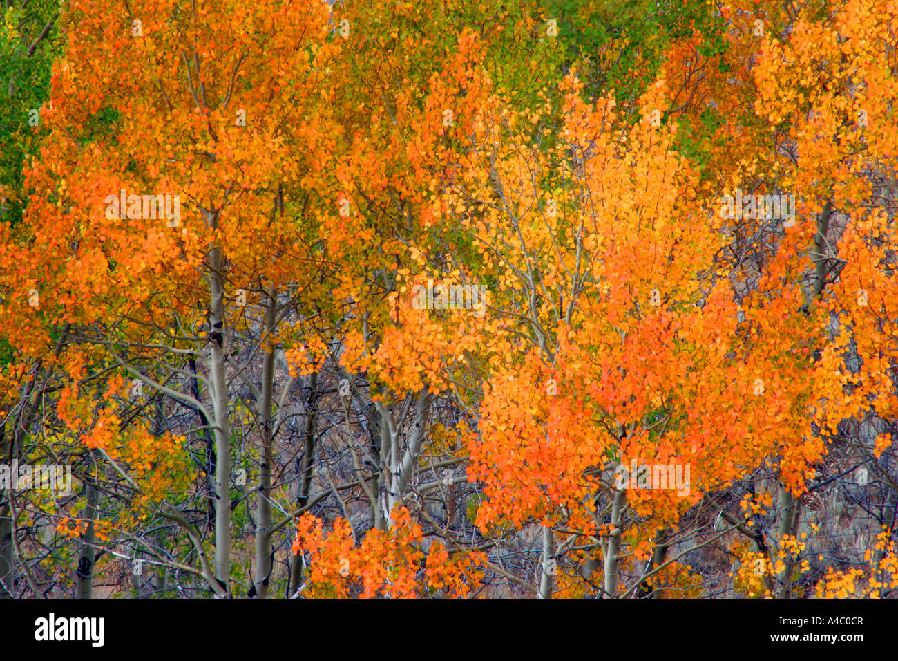 Herbstfarben, Custer National Forest in montana Stockfoto