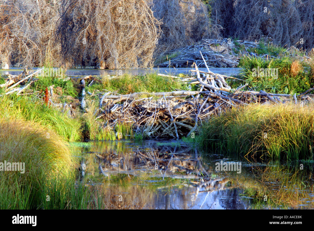 Beaver dam und Lodge, Grand Teton Nationalpark Stockfoto