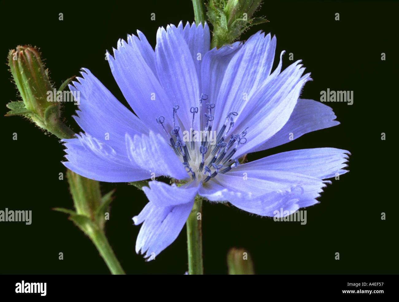 Heilpflanze Die Blaue Blüte Der Wilden Chicorée Cichorium Intybus
