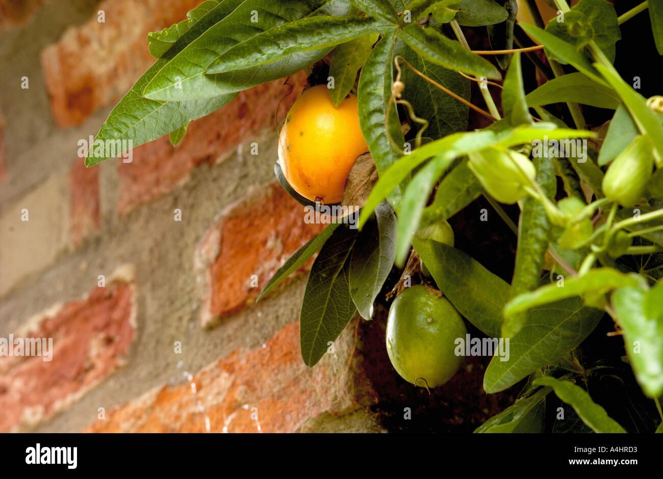 Passionsfrucht Maracuja Wachst Am Baum Mit Ziegel Wand Im