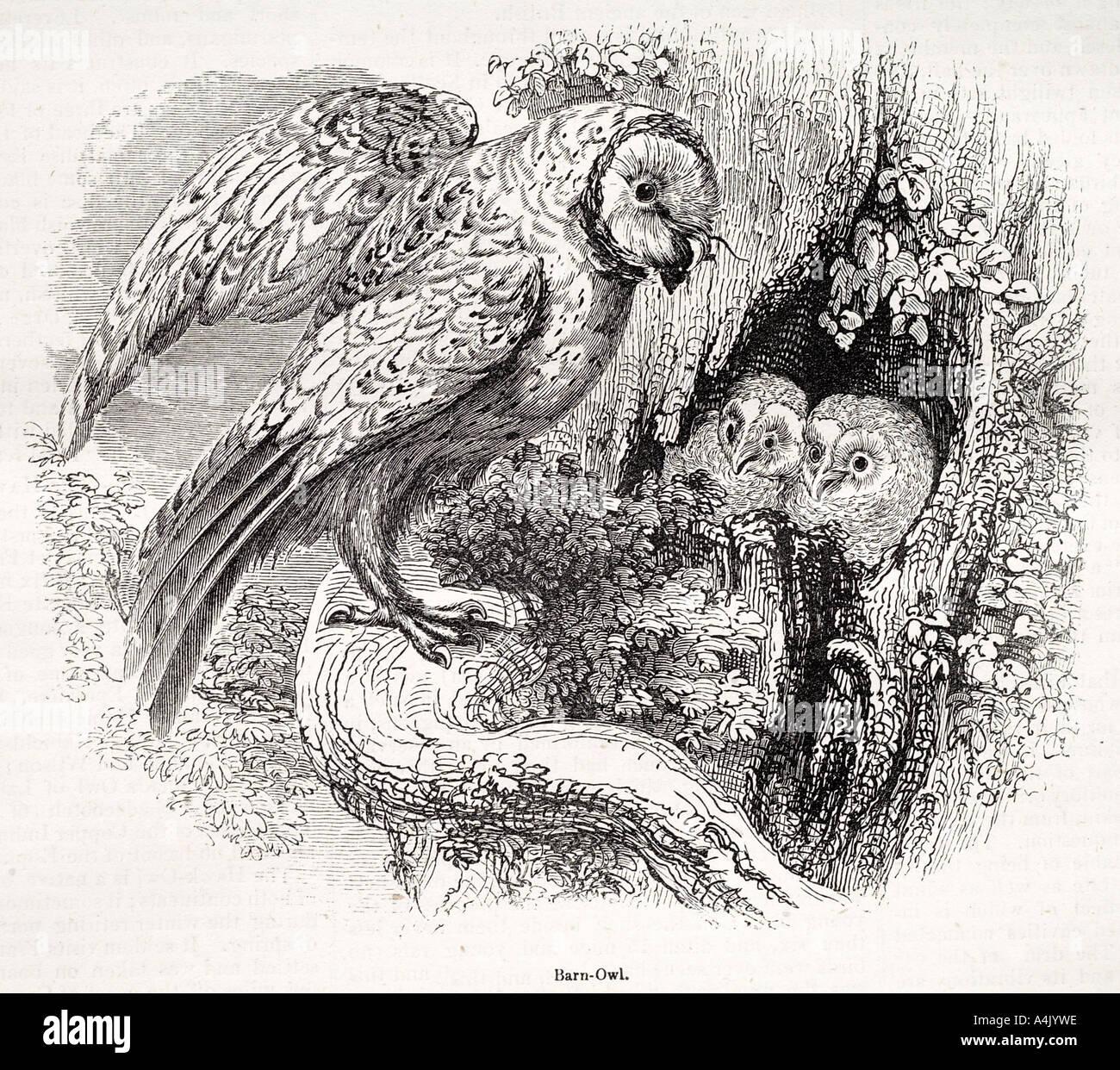 Schleiereule Tyto Alba Raptor aviäre Leben Natur natürlich Geschichte Eiablage Heck Flügel fliegen Schnabel Klaue Tier Profil Seite Ansicht Nocturna Stockbild