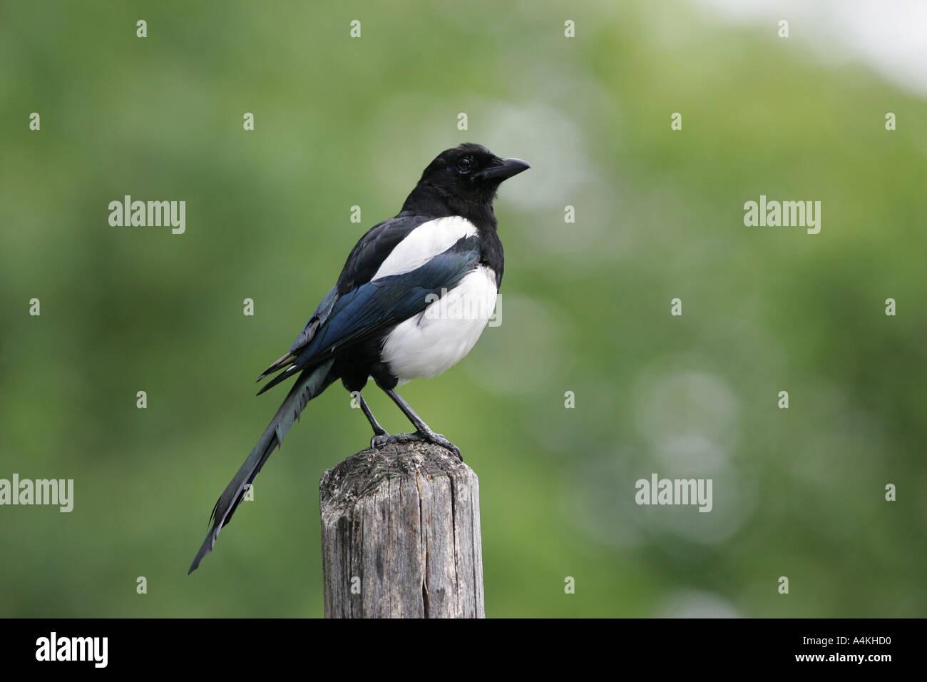 Schwarze Elster - Pica Pica abgerechnet Stockbild