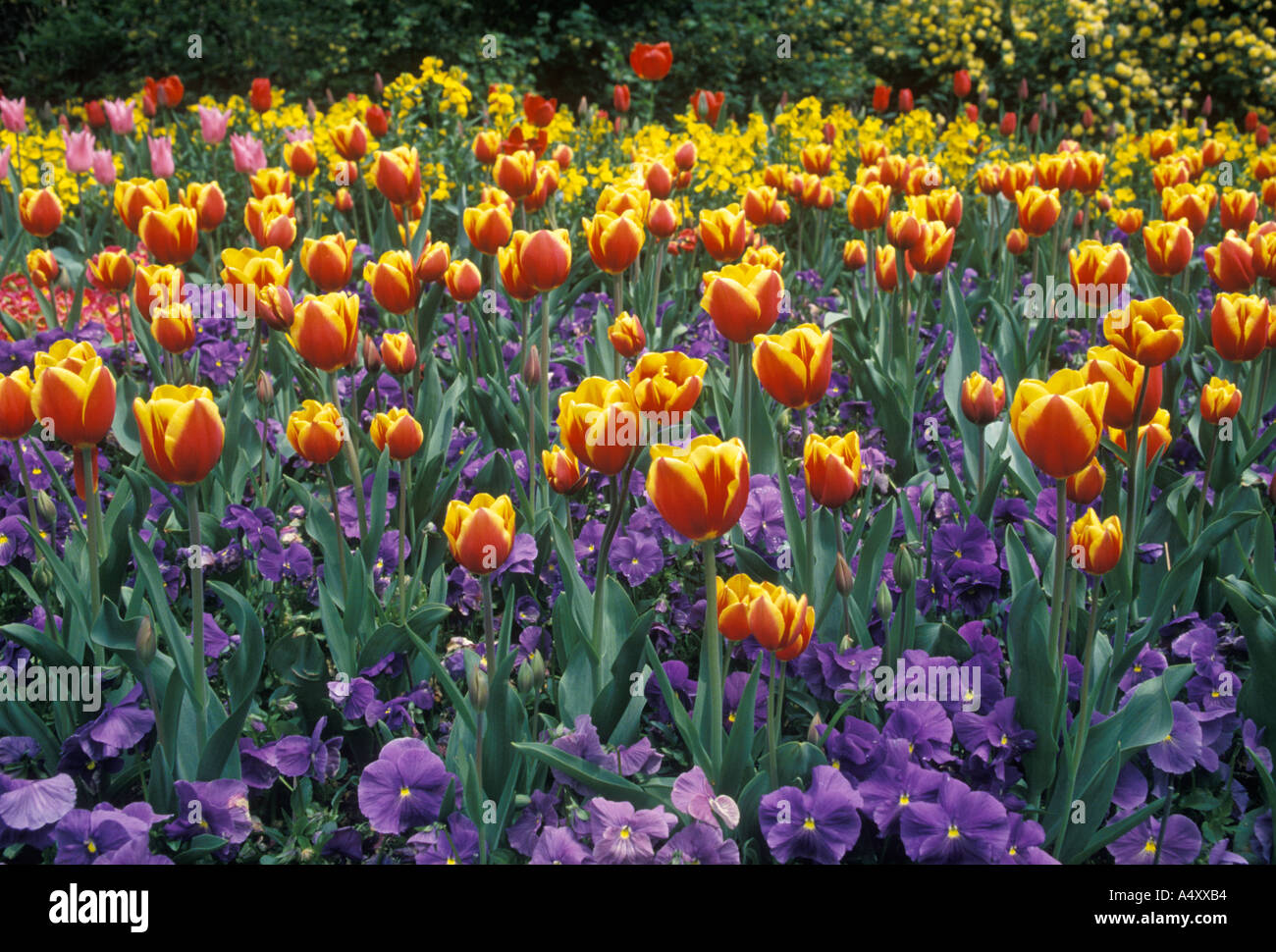 tulips st james park london stockfotos tulips st james park london bilder alamy. Black Bedroom Furniture Sets. Home Design Ideas